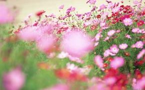 Picture field, flowers, glade, petals, pink, wildflowers, kosmeya