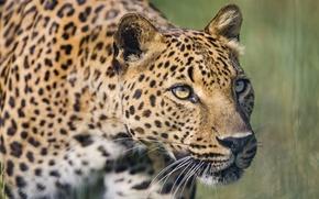 Picture cat, look, face, leopard, ©Tambako The Jaguar