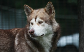 Picture look, each, dog, Malamute