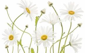 Wallpaper nature, chamomile, petals, stem
