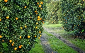 Picture garden, harvest, fruit, orange, grove, orange