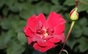 Picture rose, Bud, scarlet rose