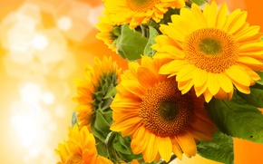 Picture sunflowers, flowers, photo
