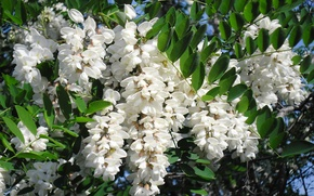 Picture white, flowering, acacia