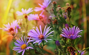 Picture autumn, flowers, nature, asters