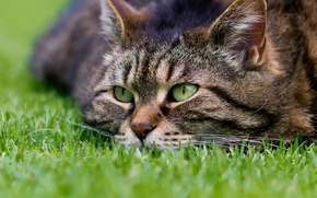 Picture cat, look, muzzle, Kote, grass, cat