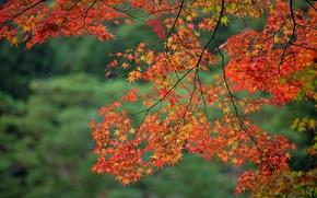 Wallpaper autumn, leaves, branch, maple