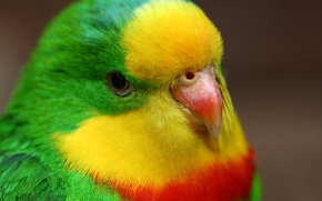 Wallpaper birds, bird, parrot, parrots, pretty