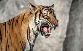 Picture language, face, strips, tiger, anger, predator, rage, mouth, fangs, grin, aggression, wild cat, roar, the …
