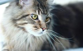 Picture cat, predator, Cat, Maine Coon