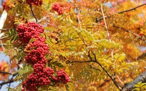 Picture autumn, leaves, yellow, red, Rowan