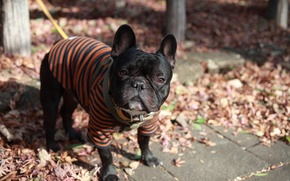 Wallpaper clothing, dog, pug, leash, face