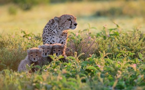 Picture Africa, the bushes, Tanzania, Cheetahs
