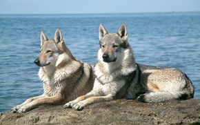 Picture water, wolves, grey, lying on a rock