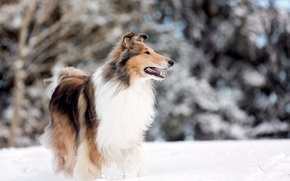 Picture dog, snow, park lake, rough collie