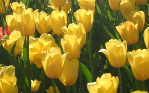 Picture flowers, yellow, tulips