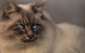 Picture cat, look, blue eyes