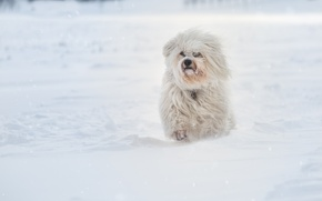 Picture winter, snow, dog, The Havanese