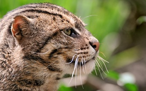Picture cat, face, Wallpaper, large, wallpaper, kitty, wild, Kote, Jungle cat