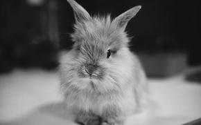 Wallpaper animal, ears, rabbit