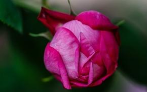 Picture macro, rose, petals, Bud