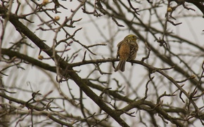 Picture birds, branches, yellow, nature, tree, bird, Wallpaper, spring, feathers, kidney