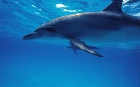 Picture sea, animals, Dolphin