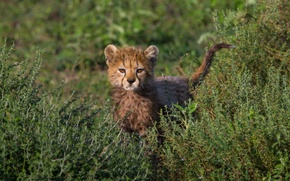 Picture grass, baby, barb, Cheetah, cub, the bushes, view, curiosity