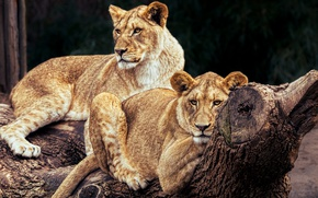Wallpaper cats, nature, tree, stay, Leo, pair, log, wild cats, lions, zoo, lie, lioness, pride