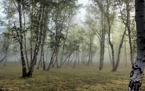 Picture forest, fog, birch, grove