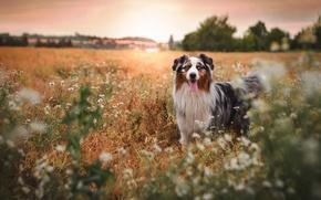 Picture summer, flowers, dog, dog, Wallpaper from lolita777, Aussie