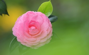 Picture flower, leaves, background, pink, Camellia