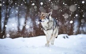 Picture snow, dog, Wolfdog