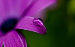 Wallpaper macro, green, nature, petal, flower, purple, color, purple, drop, plant, Rosa