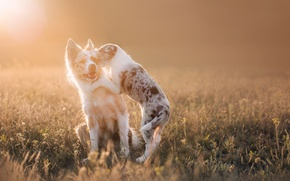 Picture field, dogs, rays, light, the game, puppies, puppy, Wallpaper from lolita777, Aussie