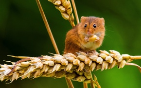 Picture macro, mouse, spikelets, ears, the mouse is tiny