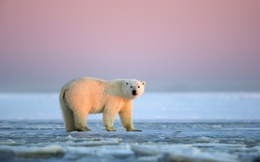 Wallpaper Alaska, White bear, ice desert, The Arctic national reserve, sunset