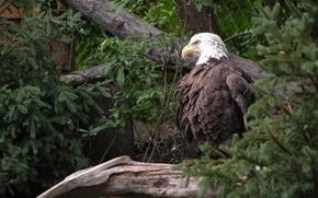 Wallpaper trees, greens, eagle