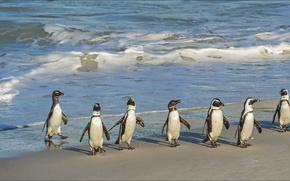 Picture seven, nature, Animals, penguins