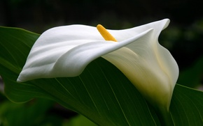 Picture tenderness, pistil, curves, Calla lilies, flower
