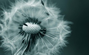 Picture flower, nature, dandelion, blade of grass