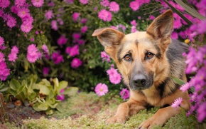 Picture look, face, flowers, dog, shepherd, German shepherd