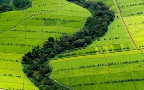 Picture hills, tea, Africa, plantation, Kenya, Kericho County