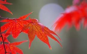 Picture autumn, leaves, nature, maple, Blik