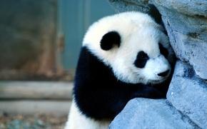 Picture face, stone, Panda
