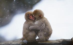 Wallpaper snow, cold, monkey, winter, Wallpaper, water, bask, hug, wallpaper