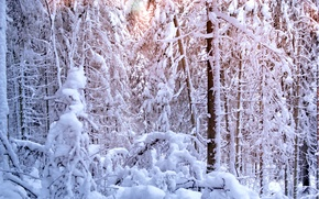 Picture winter, forest, the sun, light, snow, trees, tree, ate, pine, winter, snow, tree, sun, pine