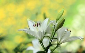 Wallpaper macro, Lily, buds, bokeh, white Lily