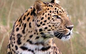 Wallpaper leopard, look, grass