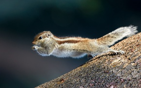 Picture jump, protein, Northern palm squirrel